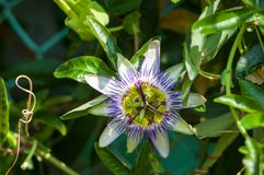 Passion flower Passiflora caerulea Passionflower against green garden background Royalty Free Stock Photos