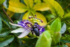 Passion flower Passiflora caerulea Passionflower against green garden background. Macro closeup of a beautiful intricate incredible alien blue and purple passion royalty free stock image