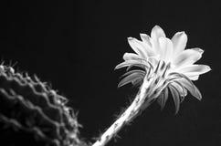 A macro closeup of a beautiful tender Echinopsis Lobivia cactus flower and thorny spiky plant bw. A macro closeup of a beautiful tender Echinopsis Lobivia cactus Stock Photo