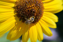 Macro Closeup Bee Pollinates Flower. A bee pollinates a sunflower on a sunny afternoon Royalty Free Stock Image
