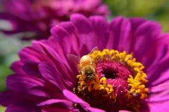 Macro Closeup Bee Pollinates Purple Flower. A bee pollinates a purple flower on a sunny afternoon Stock Photography