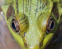 Macro closeup Of A Bullfrog. In a swamp royalty free stock photography