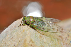 A macro closeup of a cicada Royalty Free Stock Images