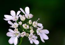 Macro closeup of coriander flowers stock photos