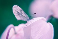 Macro closeup of a flower and beautiful butterfly on it on blurry background. Colored macro closeup of a flower and beautiful butterfly leptidea sinapis  on it royalty free stock photos