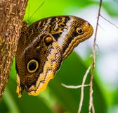 Macro closeup of a forest giant owl butterfly sitting a tree trunk, beautiful tropical insect from America. A macro closeup of a forest giant owl butterfly royalty free stock images