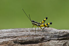 Macro closeup of  grasshopper on  wood Royalty Free Stock Photography
