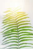 Macro closeup green fern leaf tropical rainforest plant. Background Royalty Free Stock Images