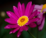 A pink, purple wild flower closeup, macro, green back ground Stock Images