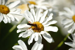 Longhorn beetle on daisies Stock Images