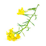 Macro closeup of natural wild yellow mustard plant. On white royalty free stock photography