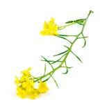 Macro closeup of natural wild yellow mustard plant Royalty Free Stock Photography
