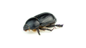 Macro closeup of naturally dead black beetle Royalty Free Stock Photos