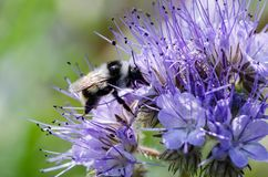 Macro closeup of a ornamental blue lavender clustered flower of Phacelia annual cultivated as honey nectar rich bee. Plant used in agriculture as cover crop Royalty Free Stock Photography