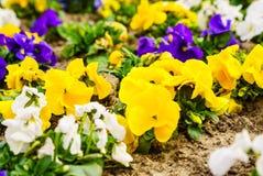Macro closeup of pansies flowers. Nature detail. Royalty Free Stock Images