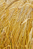 Macro closeup of ripe barley Stock Images