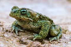 Closeup of Natterjack Toad. Macro Closeup shot of Natterjack Toad in nature Stock Photography