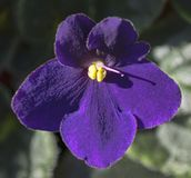 Classic Purple African Violet Flower Macro royalty free stock image