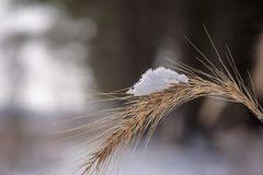 Macro closeup of snow covered prairie grass in winter. Detailed closeup of a single snow covered feathery top of prairie grass in winter Stock Images
