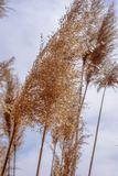 Macro closeup of tall grass blowing in wind. Macro close up of tall feathery grass blowing in the wind Stock Image