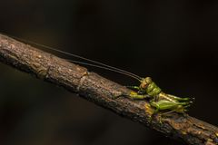Macro closeup view of grasshopper resting on tree branch with dark bokeh background royalty free stock image