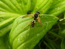 Macro Closeup of Wasp on Leaf. Macro closeup close up detail of rain wet wasp on hosta leaf Stock Image