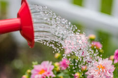 Macro closeup of watering can watering pink spring flowers Stock Image