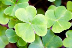 Macro clover. Close-up shot of a clover – shallow depth of field Stock Photography