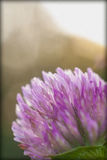 Macro clover. Purple clover bloom close up macro Stock Photography