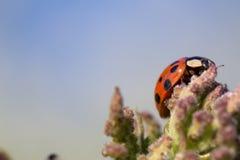 Macro coccinella Fotografia Stock