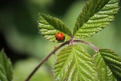 Macro coccinelle rouge et noire mignonne, coccinelle, scarabée, sur la feuille verte images libres de droits