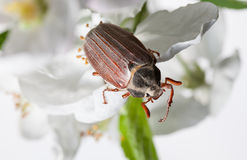 Macro of cockchafer in orchard Royalty Free Stock Photography