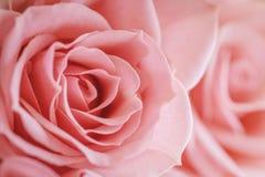 Macro color de rosa rosa clara Fotos de archivo libres de regalías