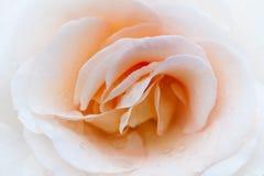 Macro color de rosa de la crema Pétalos delicados de una rosa Foto de archivo libre de regalías
