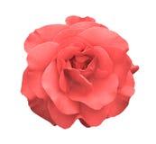 Macro color de rosa de la flor de la rosa del ácido aislada fotografía de archivo libre de regalías