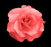 Macro color de rosa de la flor de la rosa del ácido aislada foto de archivo