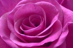 Macro color de rosa de la púrpura Fotografía de archivo