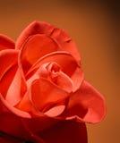 Macro color de rosa del rojo hermoso en fondo marrón Fotografía de archivo