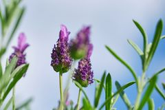 Lavandula stoechas blossom, close up color picture. Macro color photo of Lavandula stoechas against sky with clouds royalty free stock photos