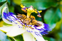 Macro color photo of passiflora caerulea with a group of bees on it stock photo