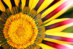 Macro of a colored coneflower Royalty Free Stock Images