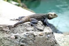 Starry Night Lizard  Stock Photo