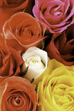Macro colorful rose petals. Mixed colourd roses filling the picture Royalty Free Stock Images