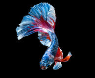 Macro colorful siam fighting fish are swimming. On black background stock photo