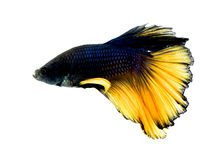 Macro colorful of  siam fighting fish Stock Photo