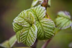 Macro colpo affascinante delle foglie verdi congelate nel gelo Fotografia Stock Libera da Diritti