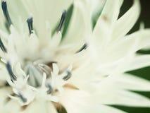 Macro colpo astratto di bello fiore bianco della centaurea floreale Fotografia Stock