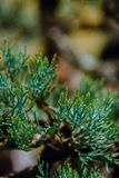 Macro colpo degli aghi del pino fuori di un pino dei bonsai fotografia stock