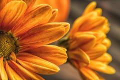 Macro colpo dei fiori gialli del crisantemo Fotografie Stock