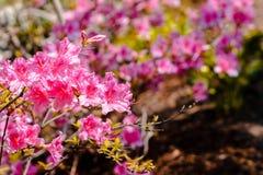 Macro colpo dei fiori rosa in fioritura un giorno di molla soleggiato nei giardini giapponesi immagini stock